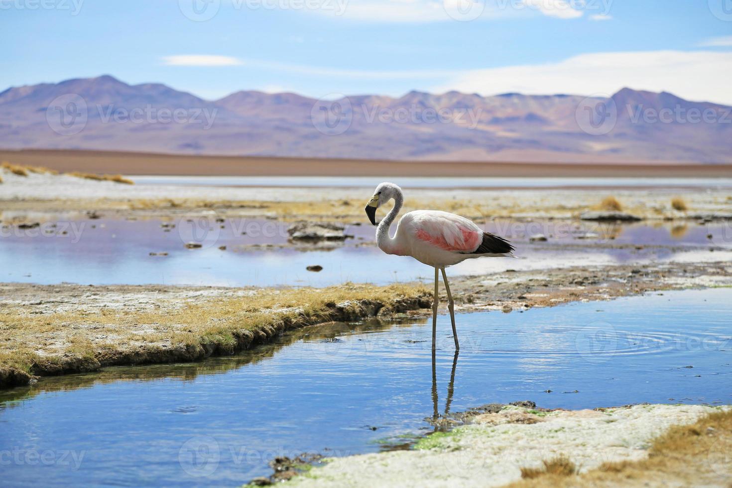 Andes flamingo's in de buurt van hete lente in de woestijn van Bolivia foto