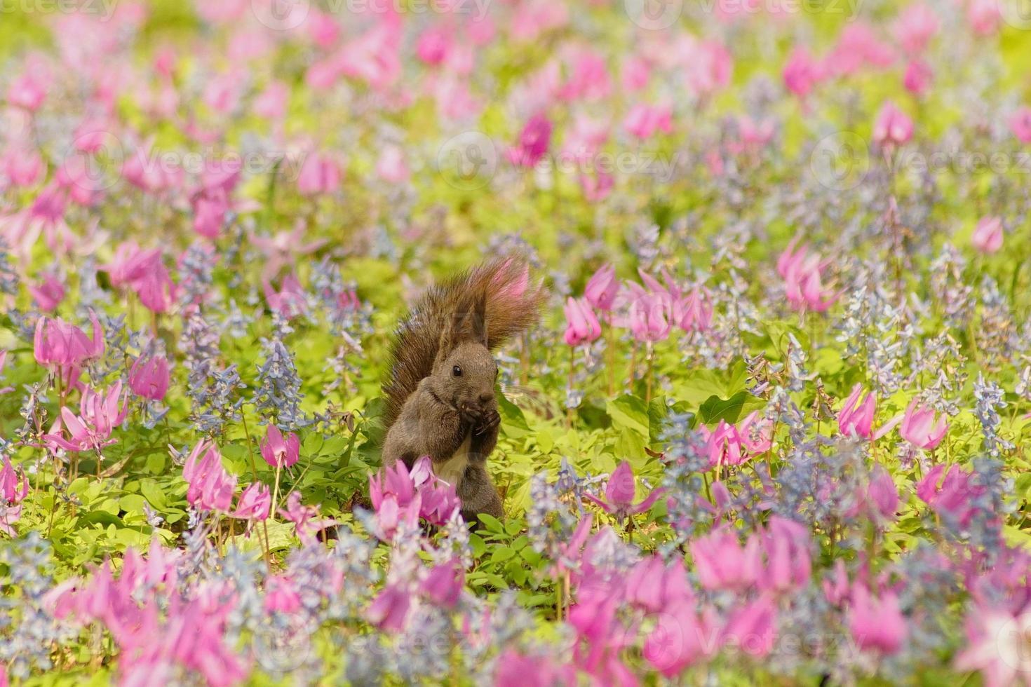 visualización de flores de ezorisu foto