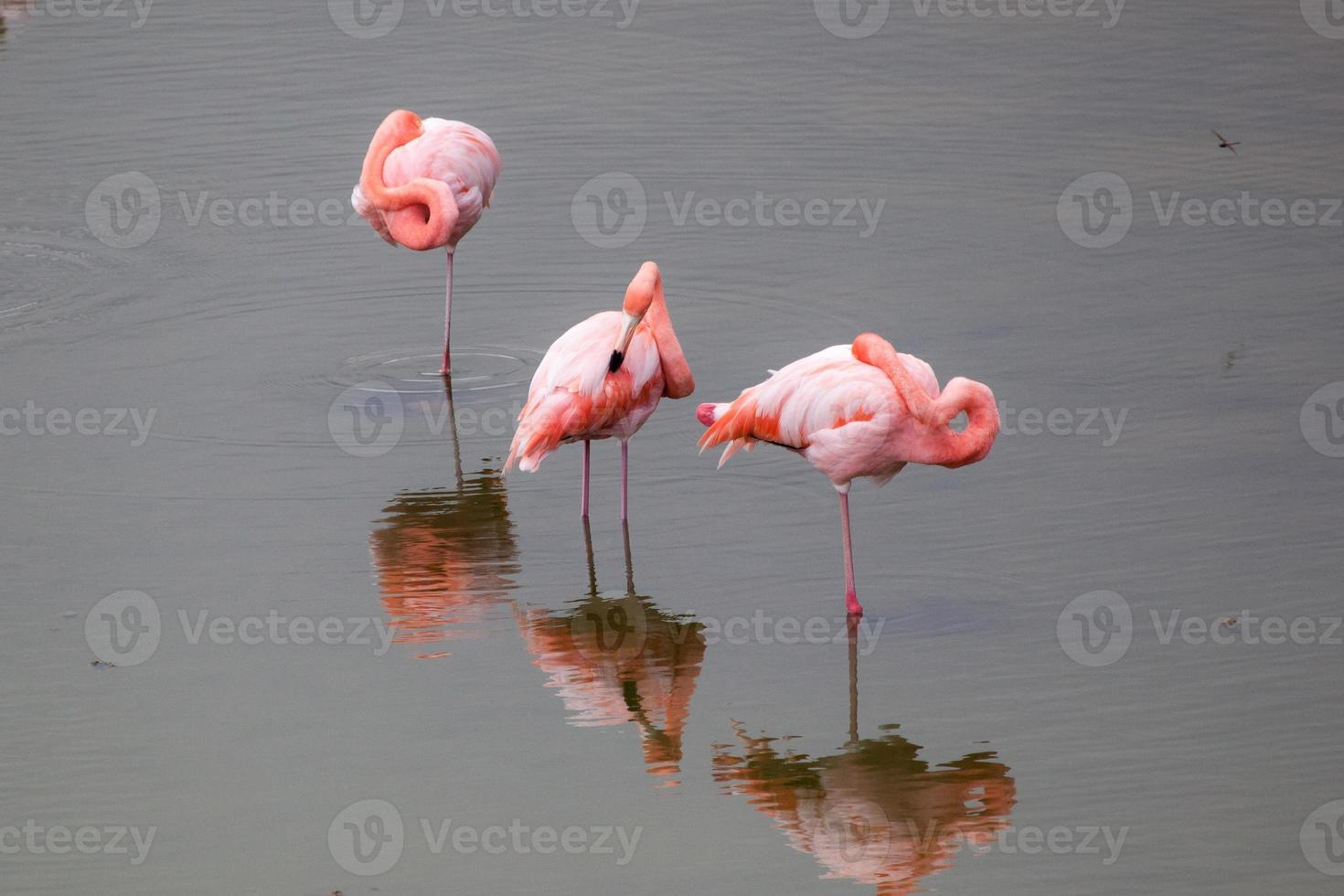 Greater Flamingos in the water at Galapagos Islands photo