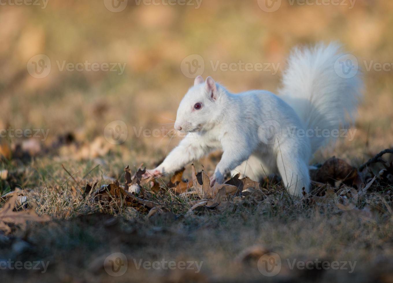 White squirrel burying nuts photo