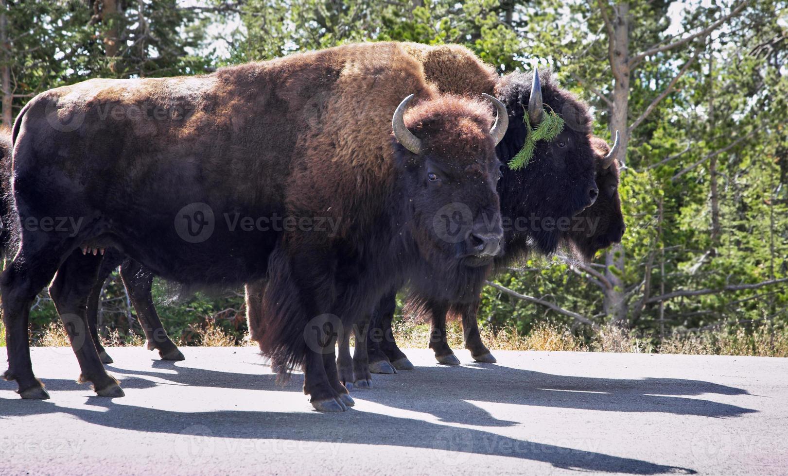 bisontes en el parque nacional yelloustone foto