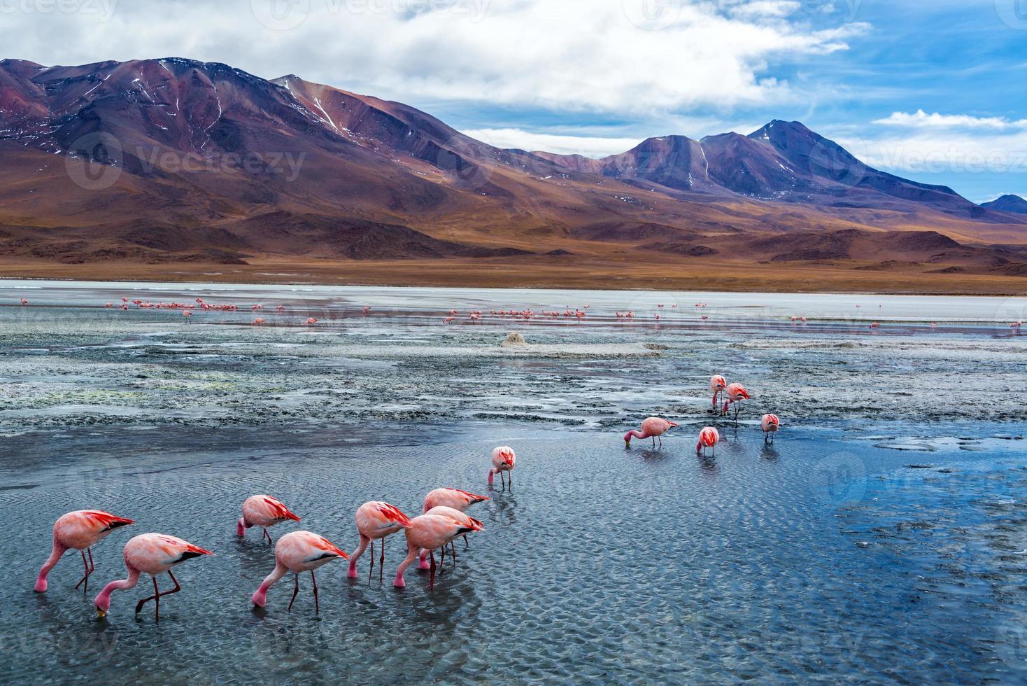 flamencos rosados en bolivia foto