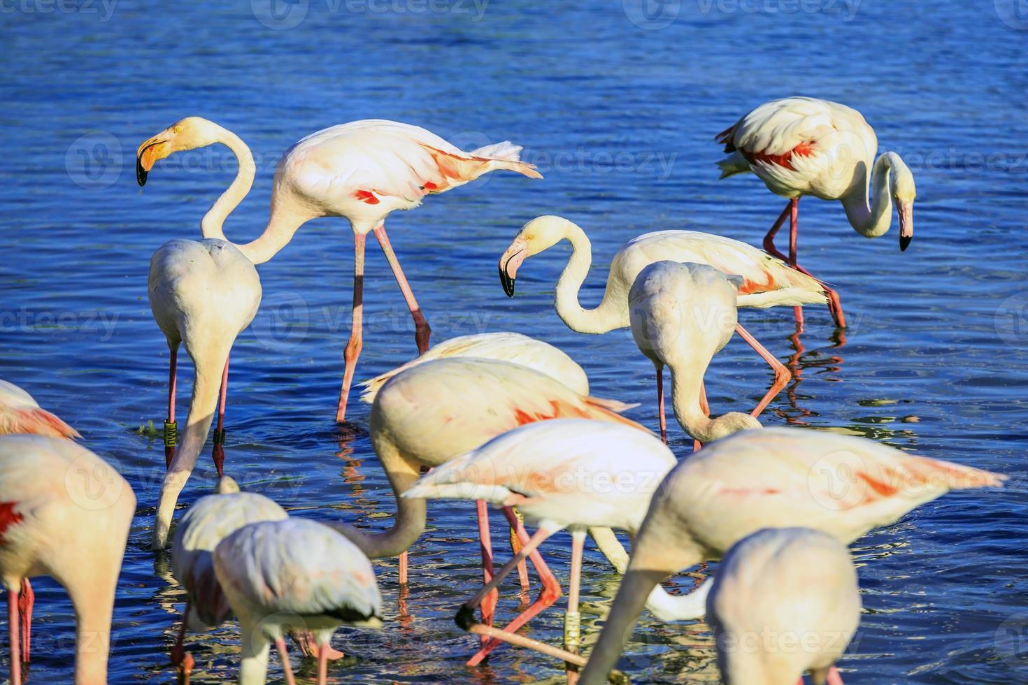 Pack of pink flamingos photo