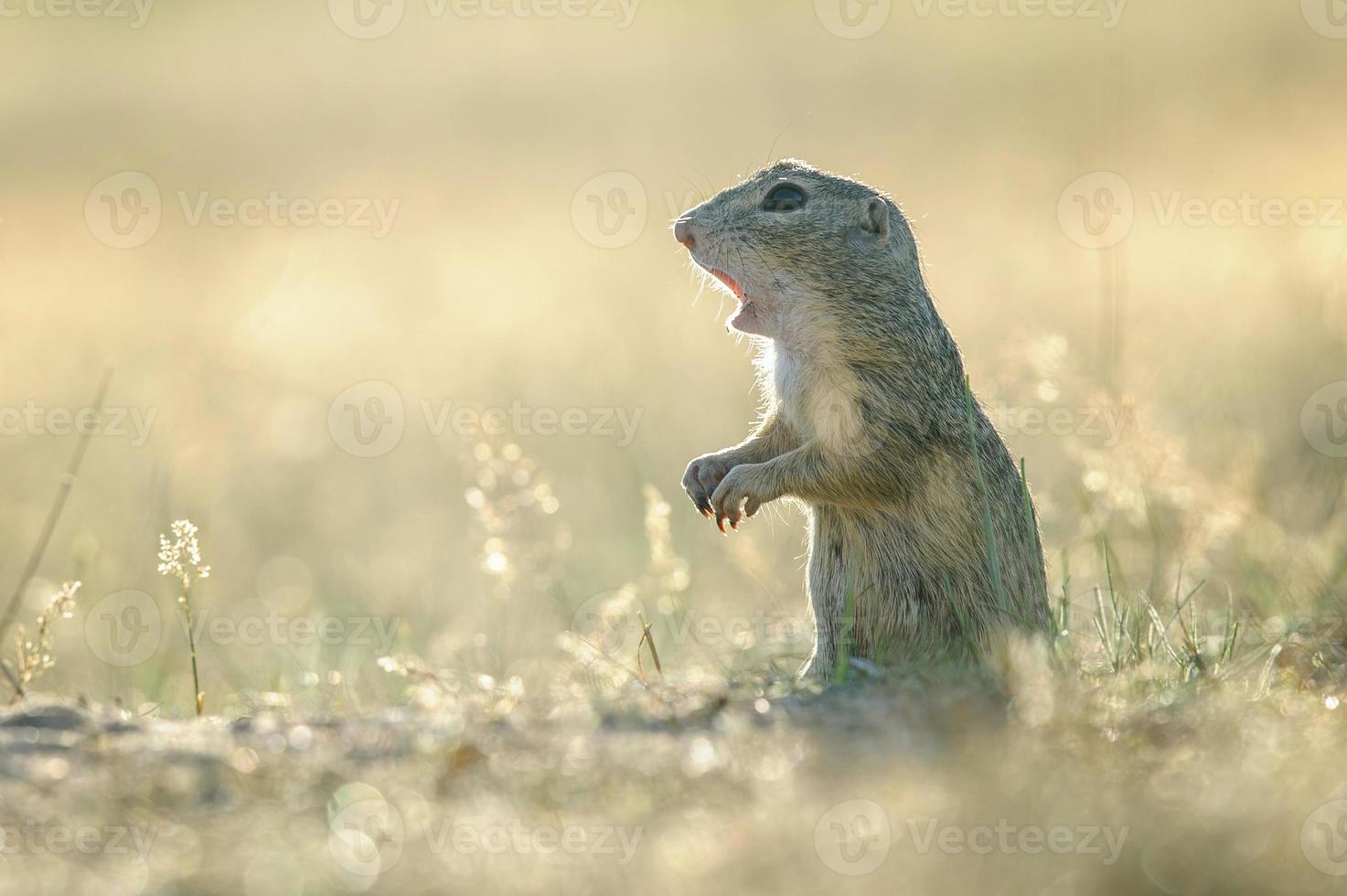 European ground squirrel with open mouth photo