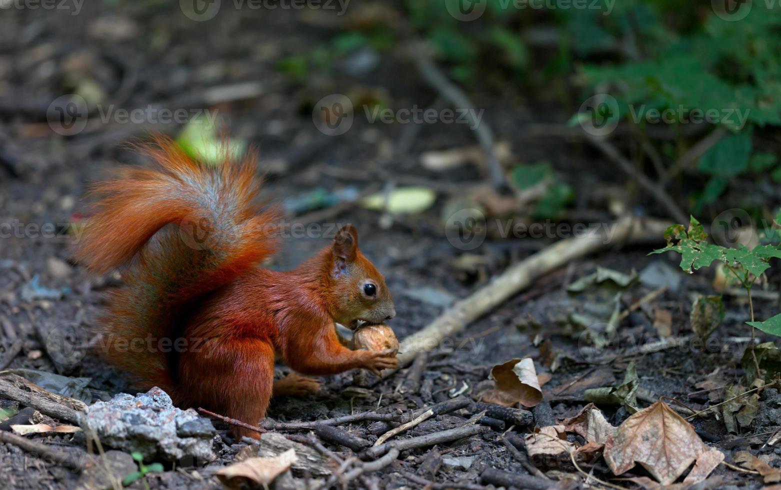 Red squirrel eat walnut in autumn forest photo