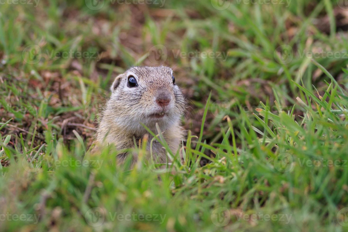 prairie dog (cynomys ludovicianus) photo