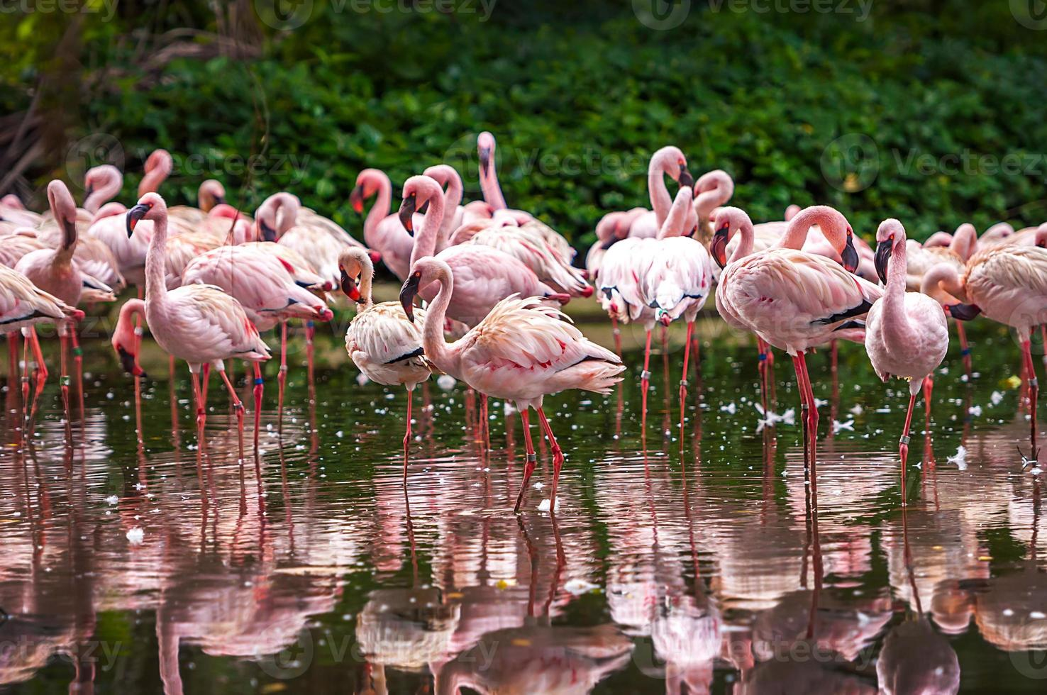 Flock of pink flamingos photo