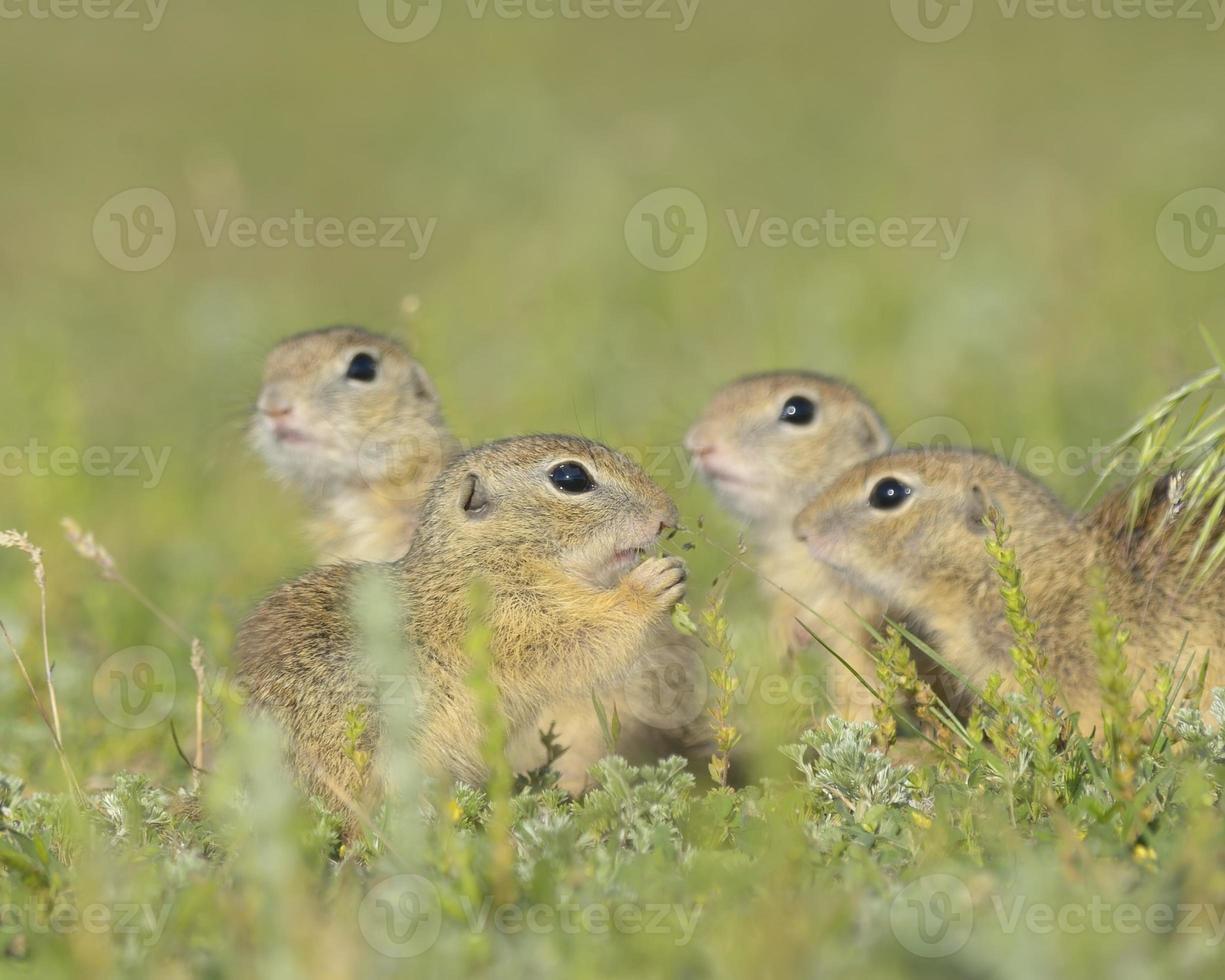 European ground squirrel (Spermophilus citellus) in natural habitat, feeding photo
