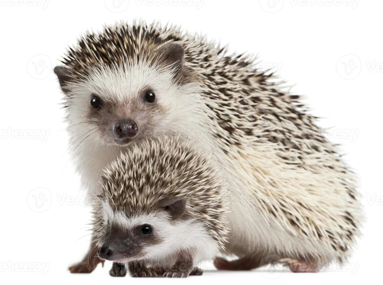 Image of cute four-toe hedgehog mother and son photo