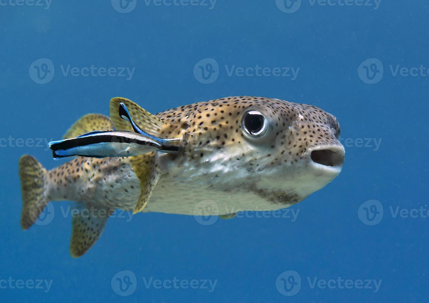 Porcupinefish,  puffer fish, bluestreak cleaner wrasse photo