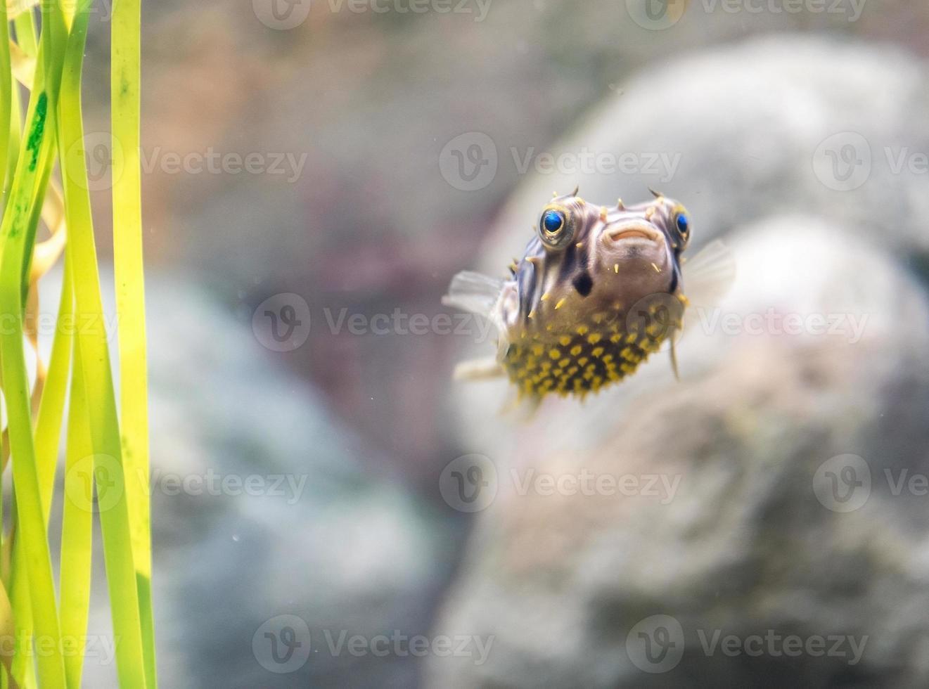 pez globo foto