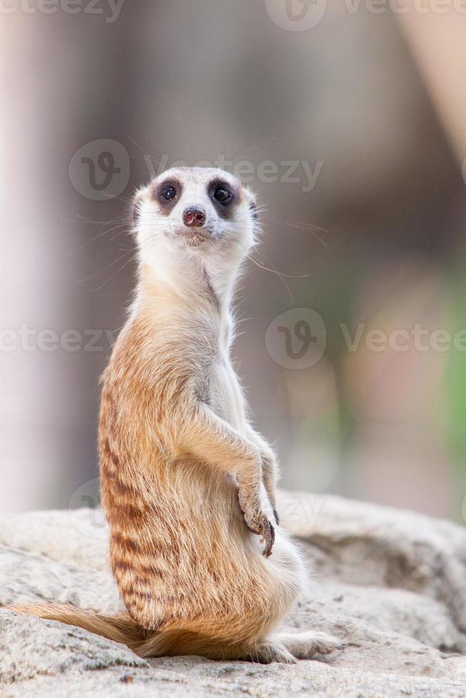 suricata o suricate foto