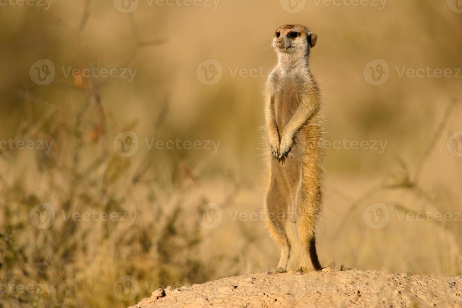 Alert meerkat photo