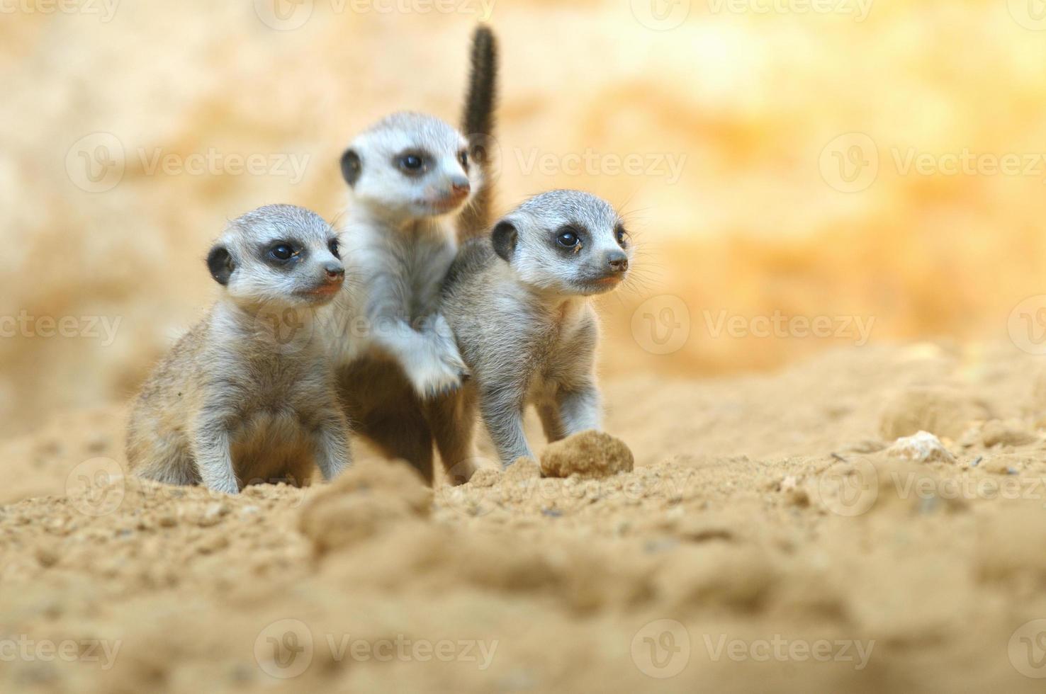 Suricate puppies photo