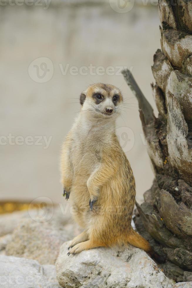 suricate o suricata contra foto