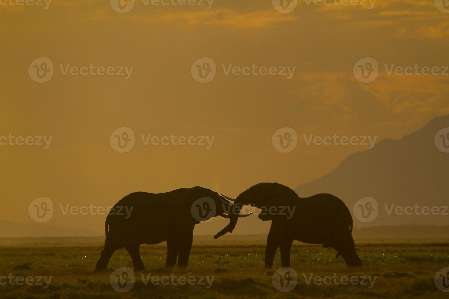 Los elefantes luchan en el parque nacional de Amboseli, Kenia foto