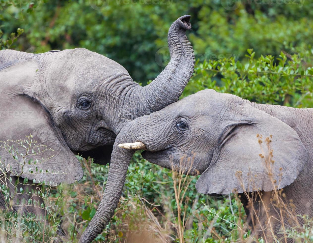 jóvenes elefantes juegan foto
