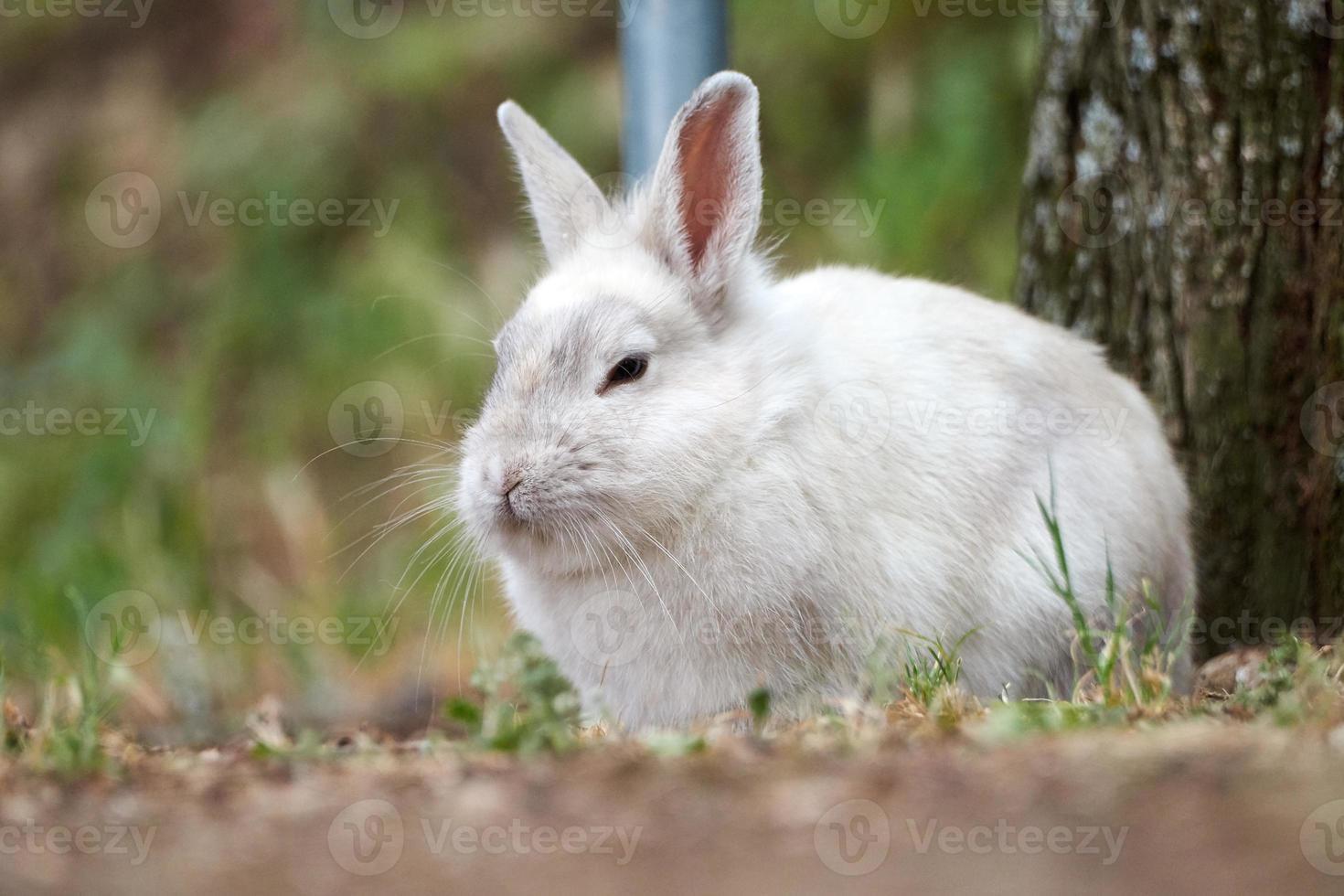 hermoso conejo blanco foto