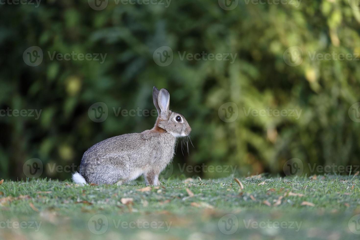 conejo, lepus curpaeums foto