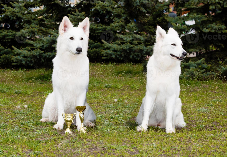 One White Shepherd won, other lost. photo