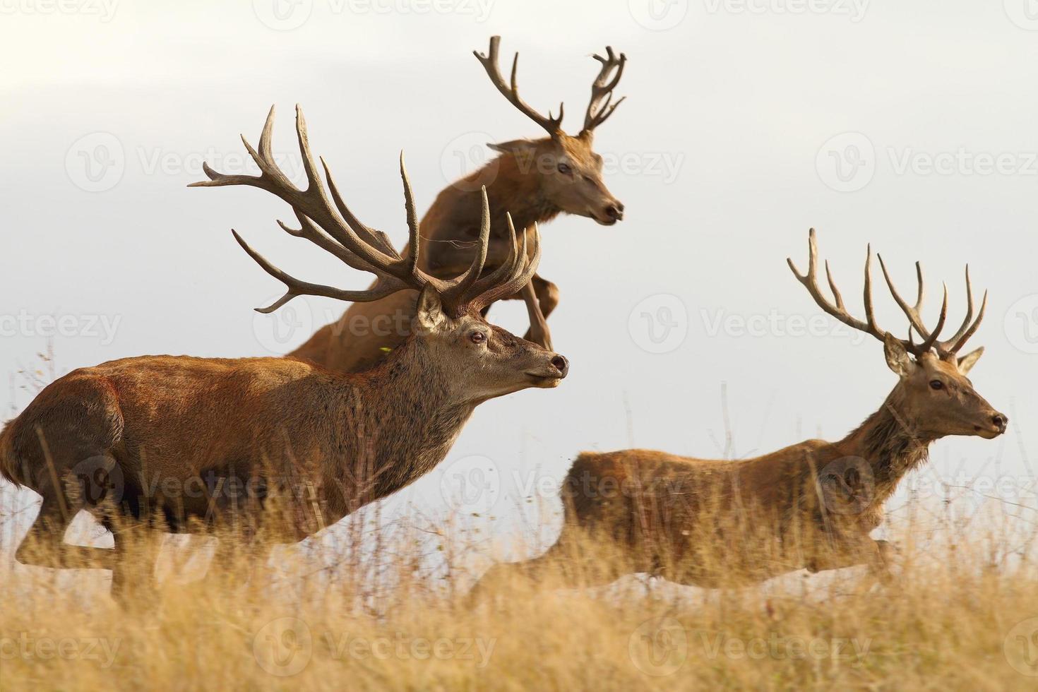 ciervos rojos en la carrera foto