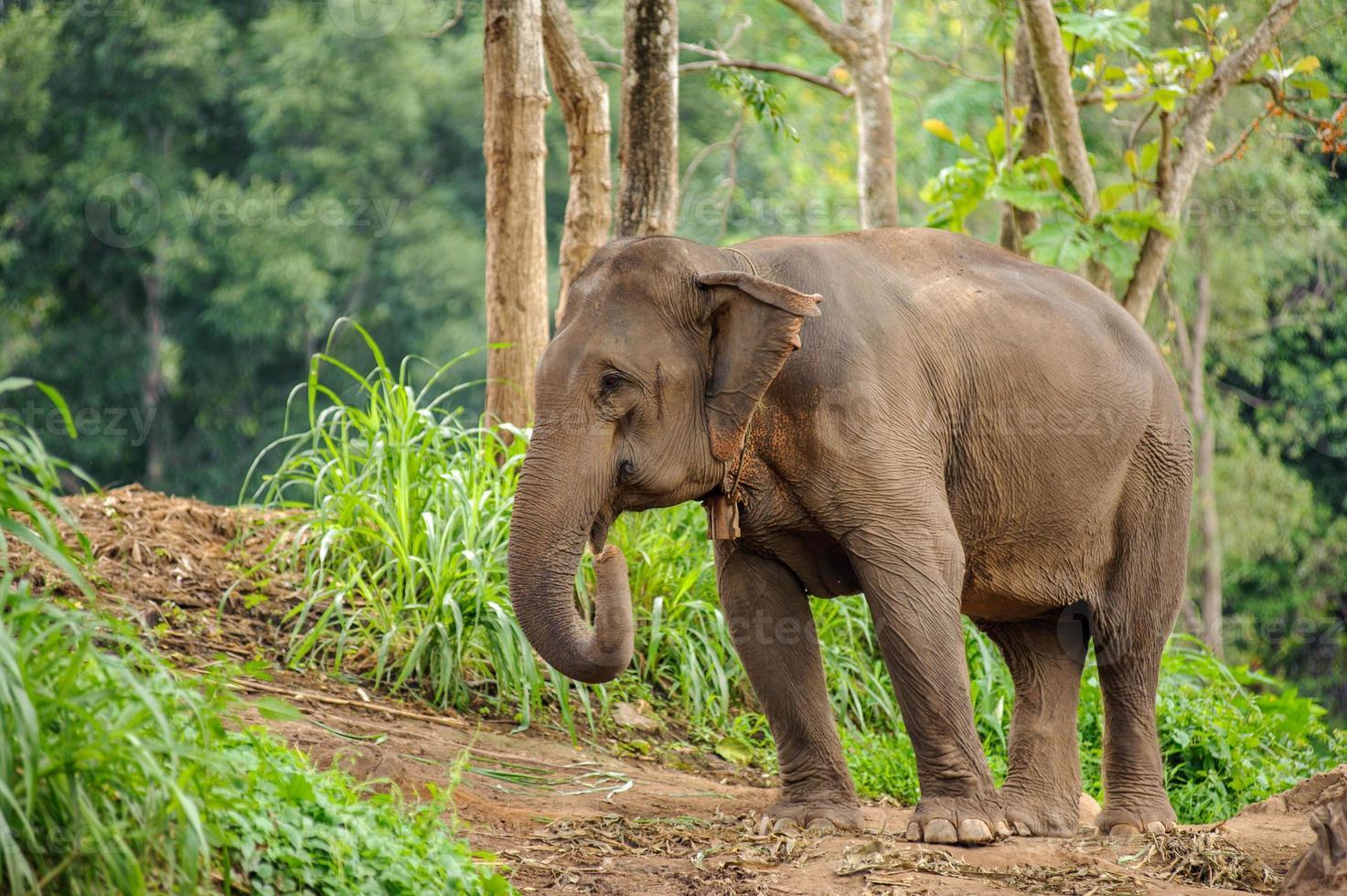 Elefantes salvajes en el parque nacional de Tailandia Chiang Mai. foto