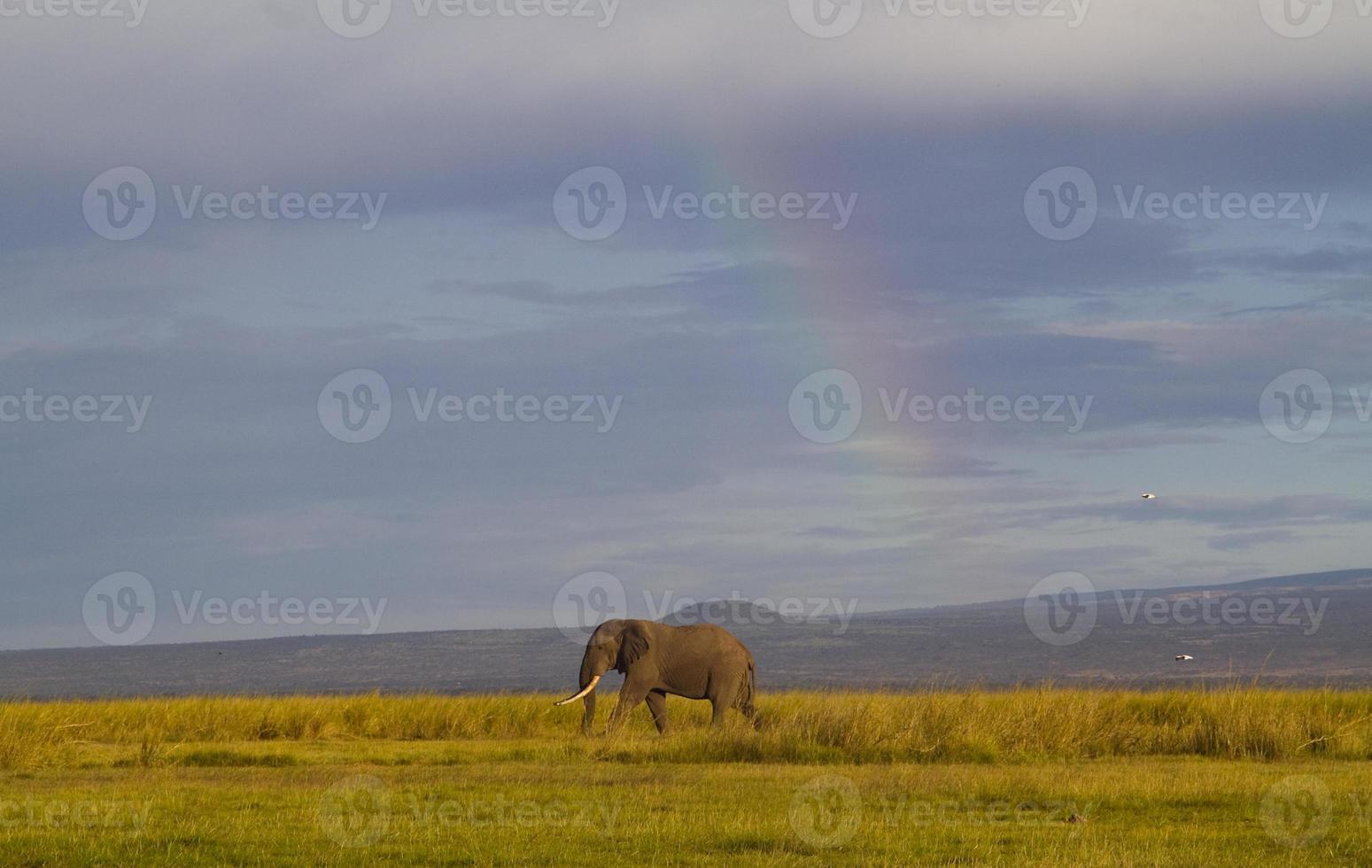 arco iris contra un elefante solitario foto