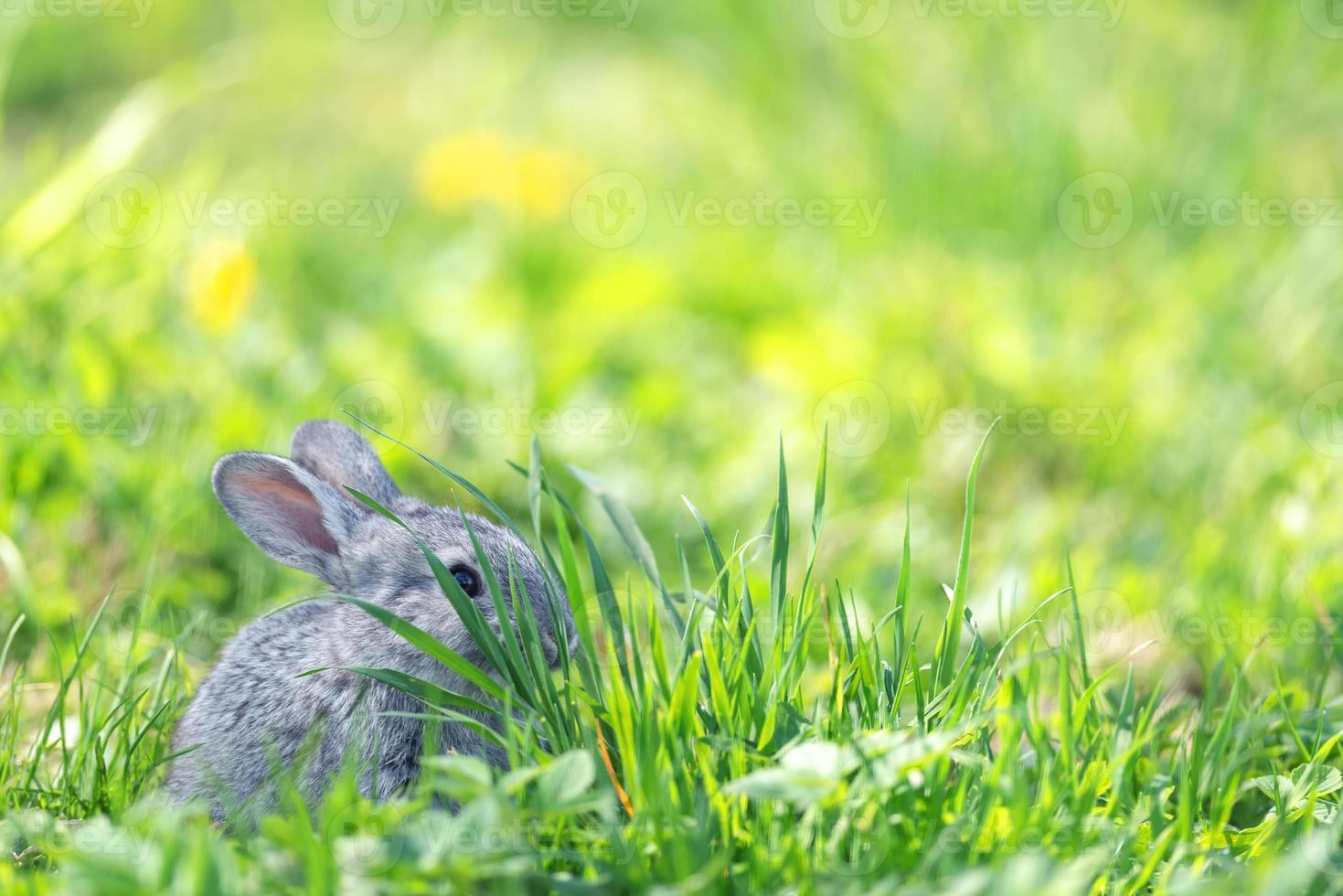 Conejo foto