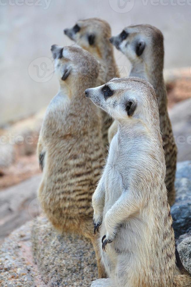 suricate o suricata de pie en posición de alerta foto