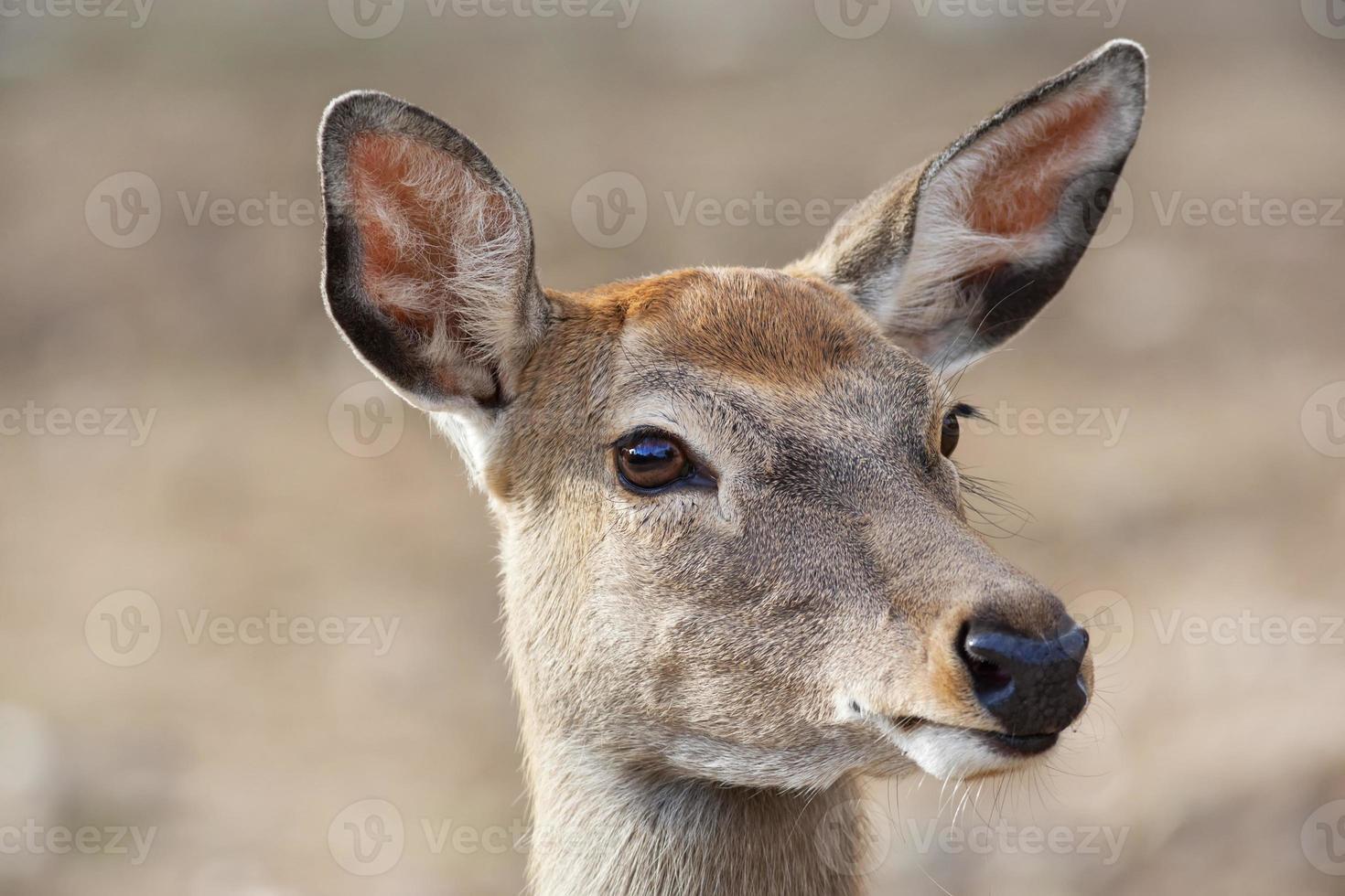 Closeup retrato de un eje hembra ciervo. foto