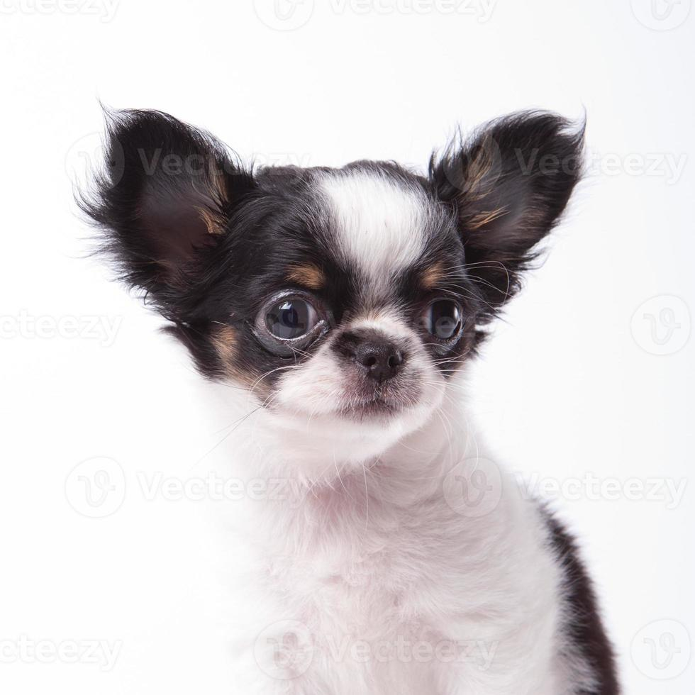 perrito chihuahua foto