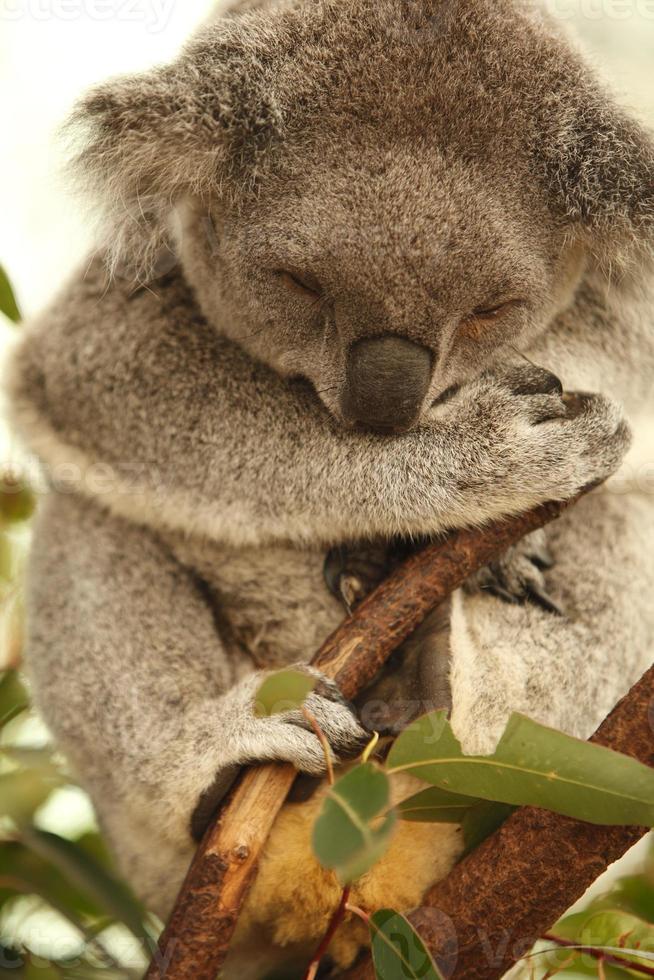 coala foto
