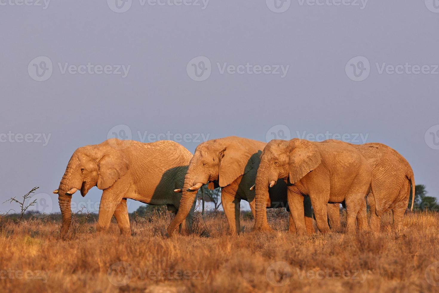 elefantes al atardecer foto