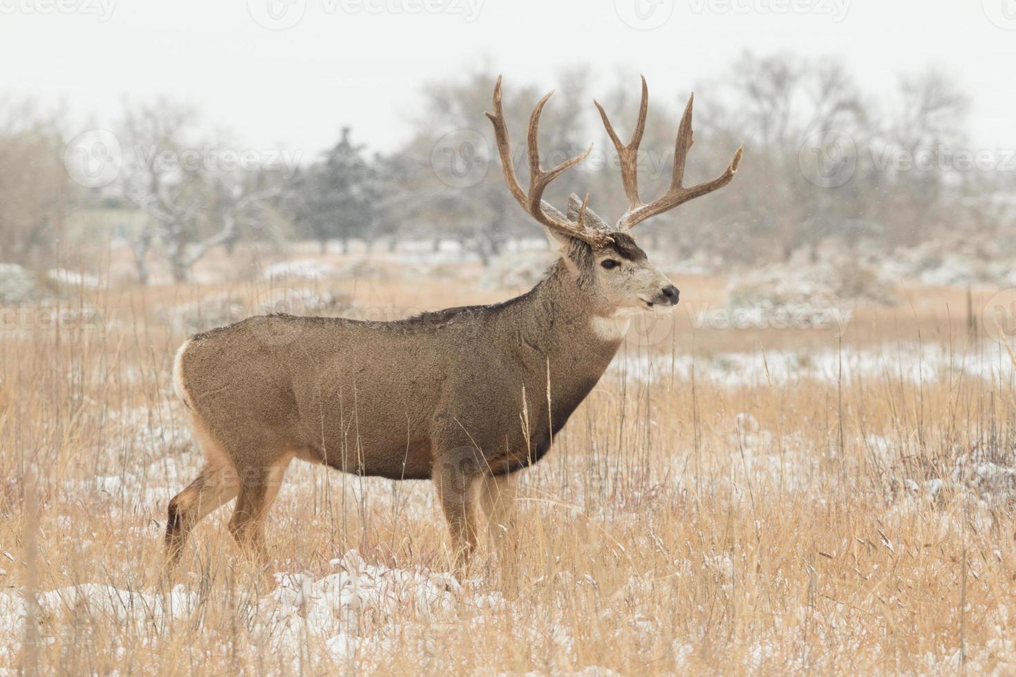 Mule Deer Buck photo