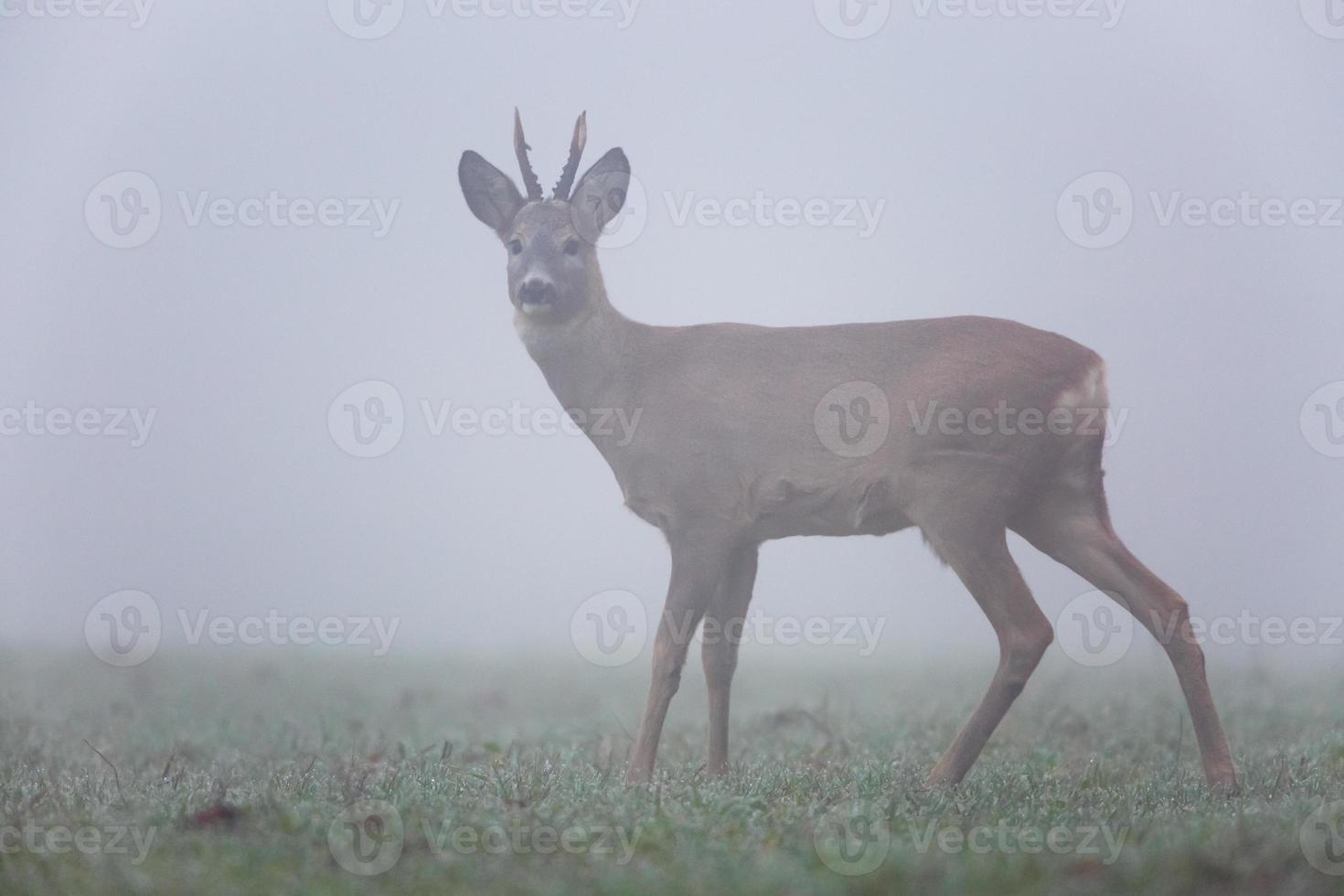 Corzo en la niebla foto