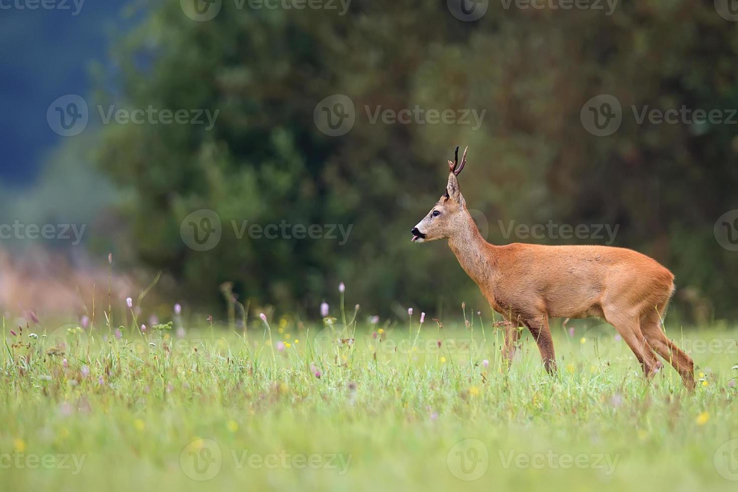 ciervos en la naturaleza foto