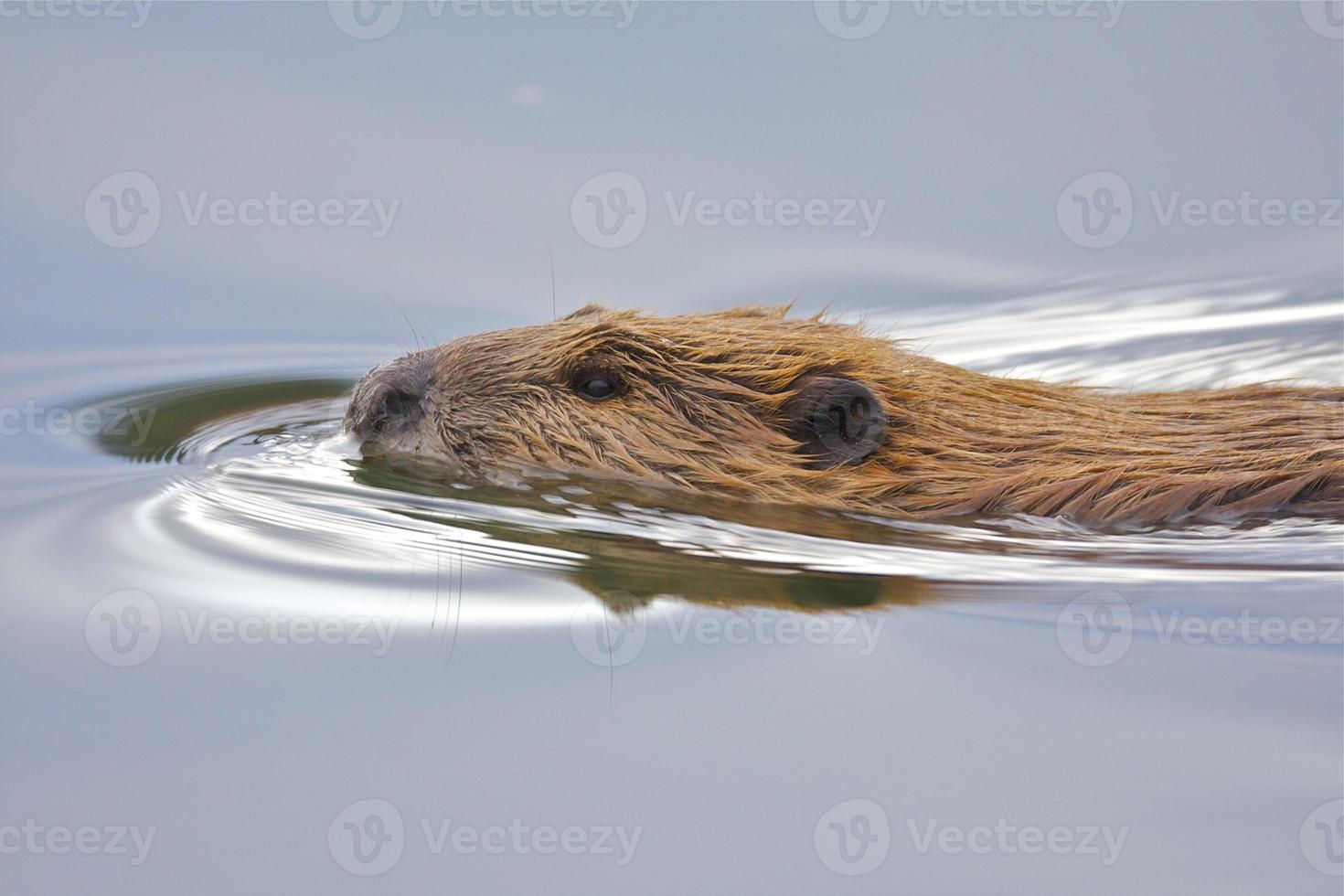 castor de natación foto