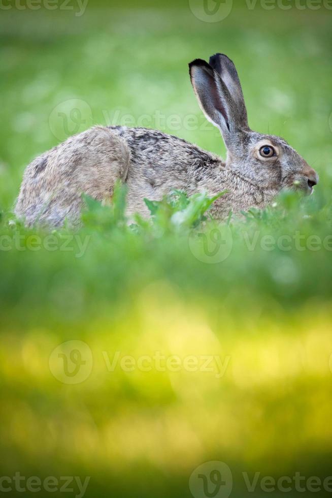 conejo acostado en un pasto foto
