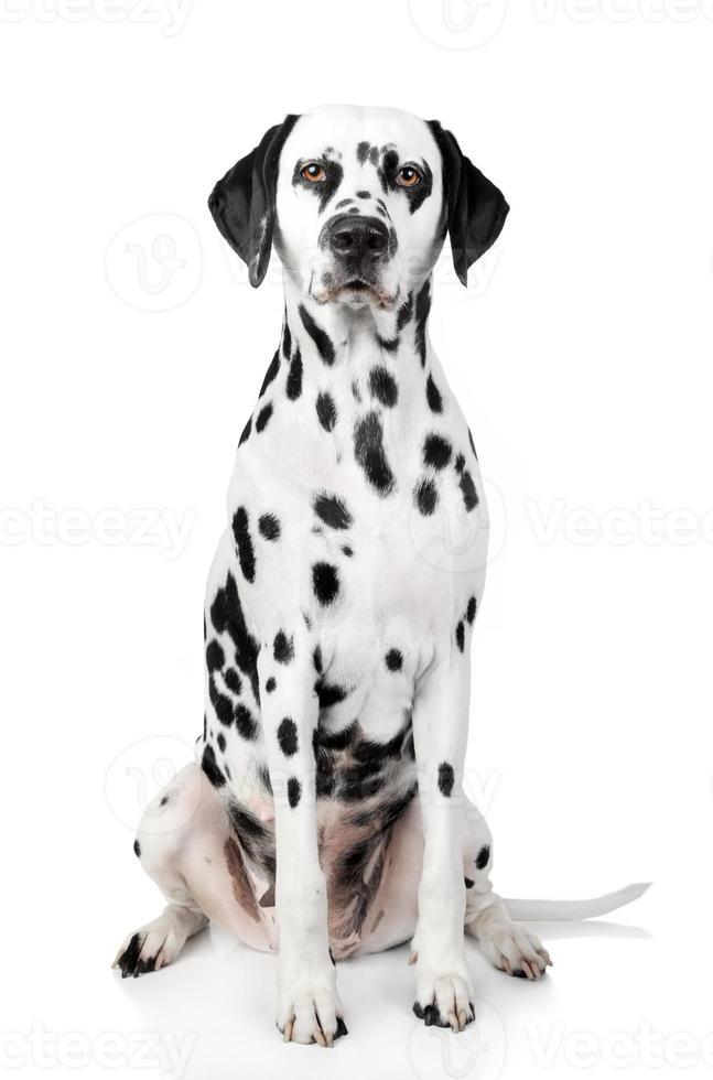 Dalmatian dog portrait photo
