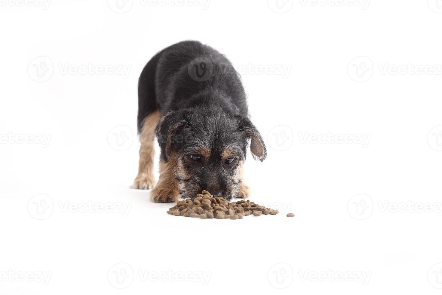 mezcla de terrier joven come comida para perros foto
