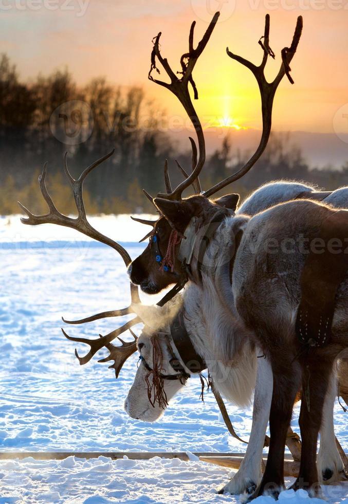ciervo del norte foto