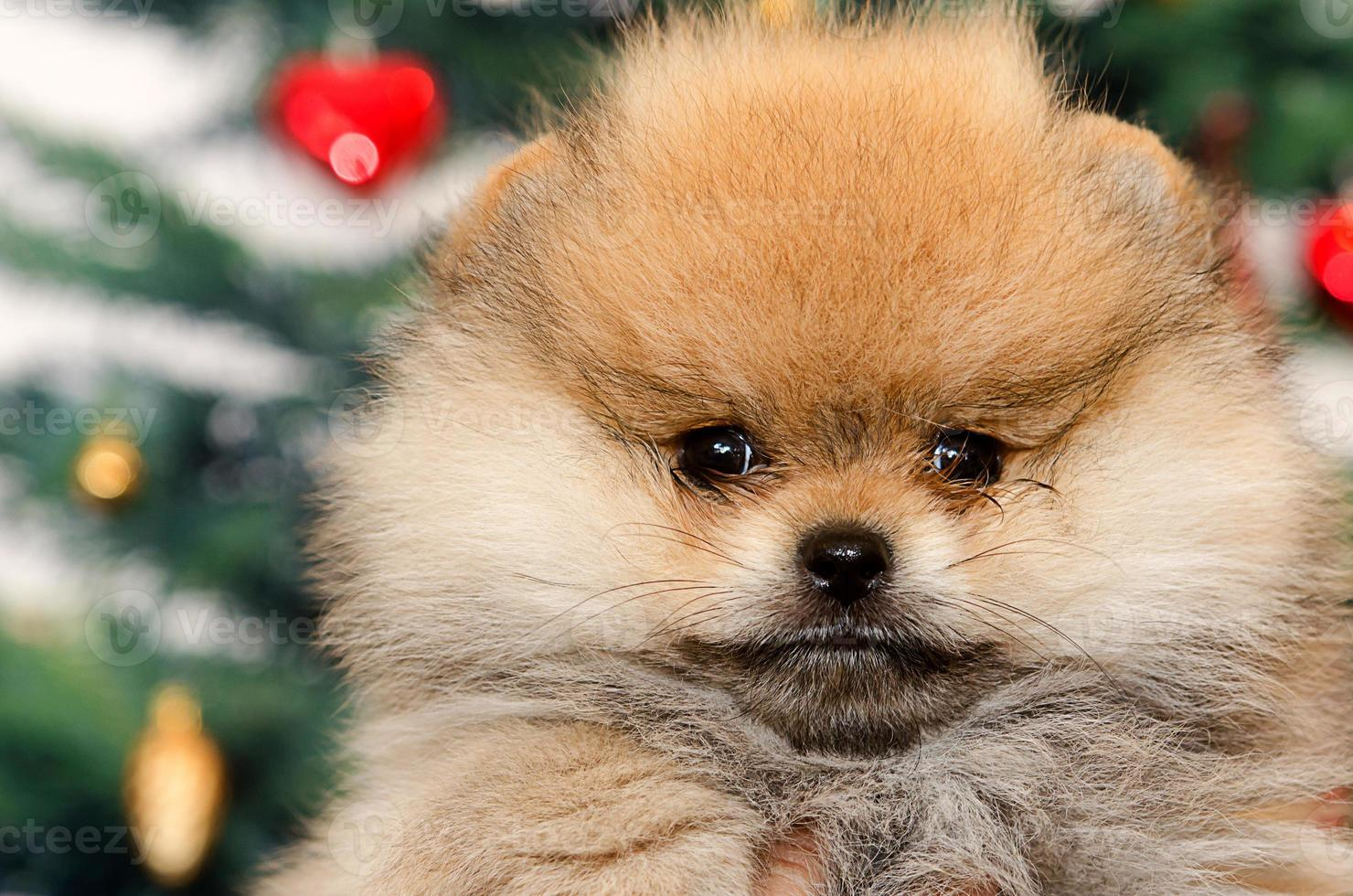 perro pomerania foto