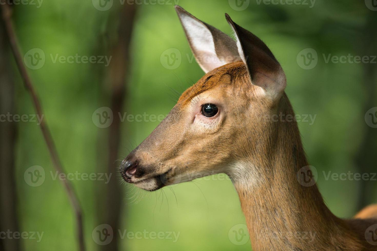 venado cola blanca en alerta en el bosque foto