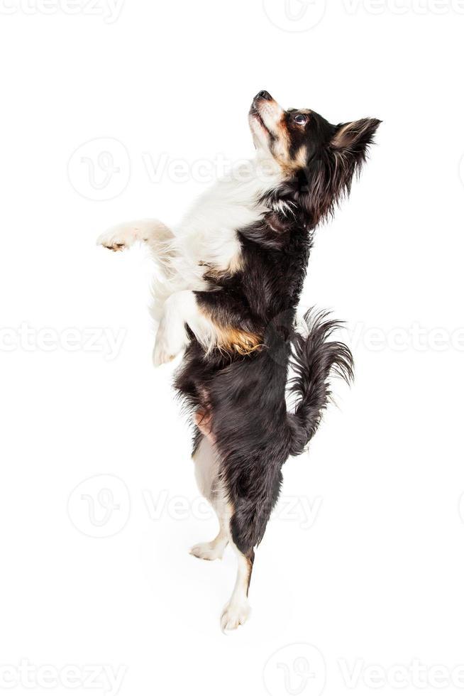 bailando chihuahua perro de raza mixta foto