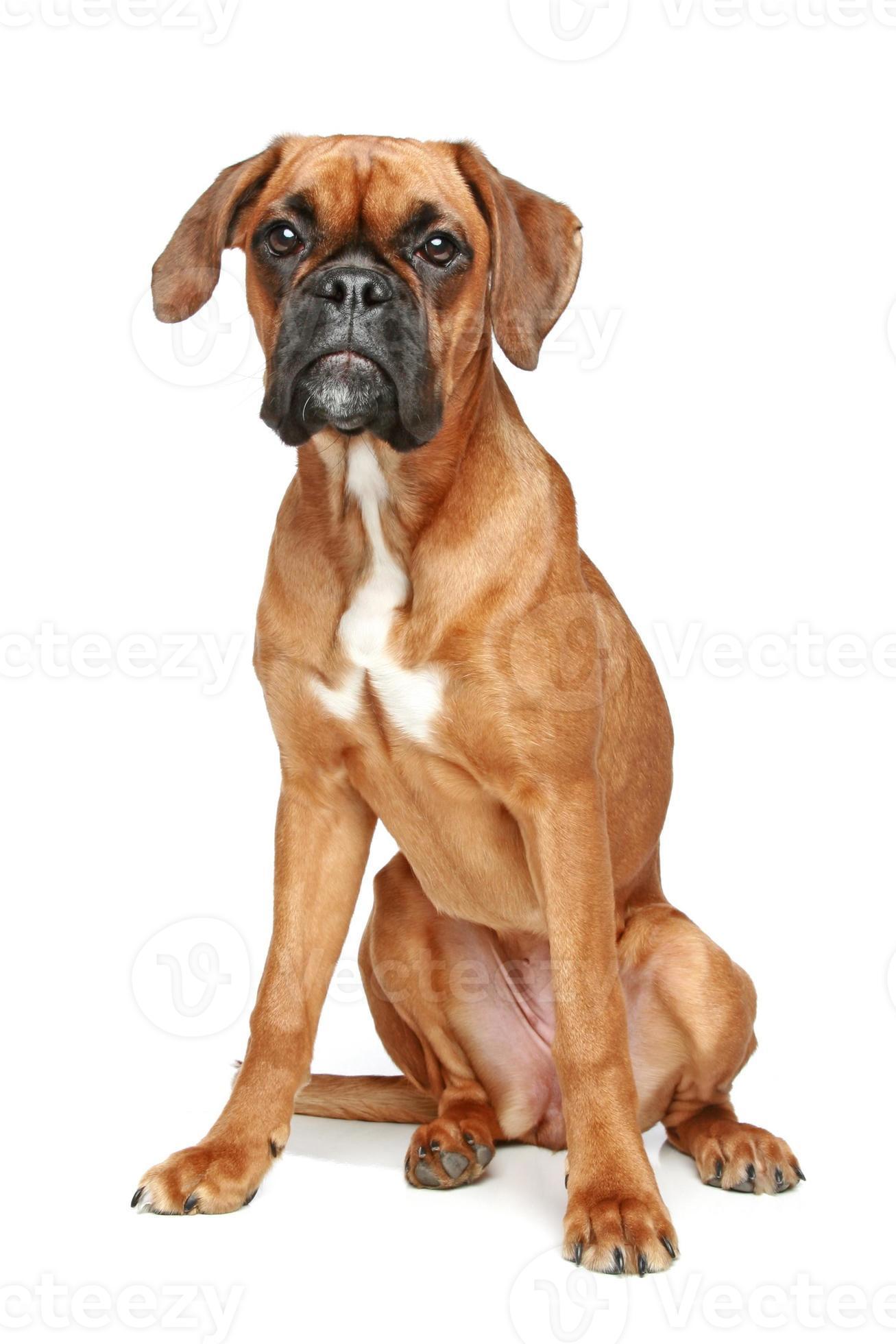 German Boxer Puppy Stock Photo