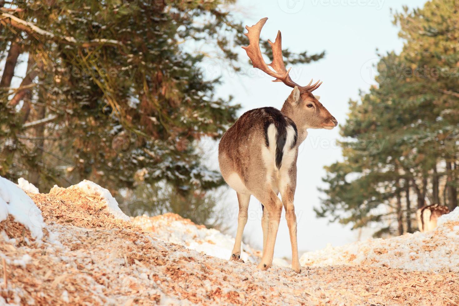 Bosque de invierno con ciervos. cielo azul. foto