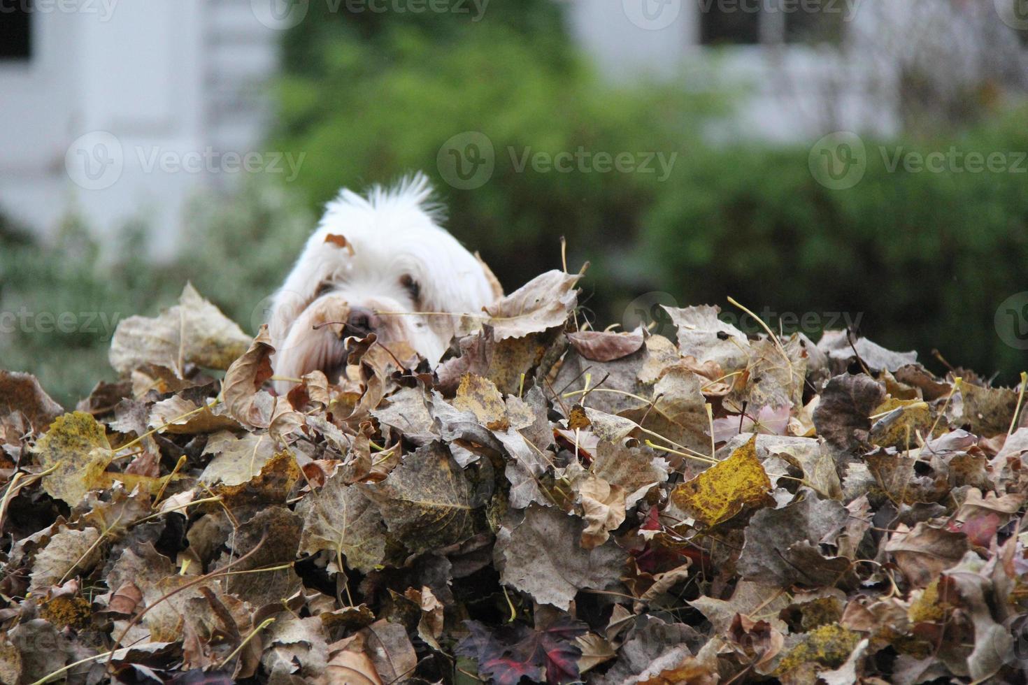 pila de hojas y perro foto