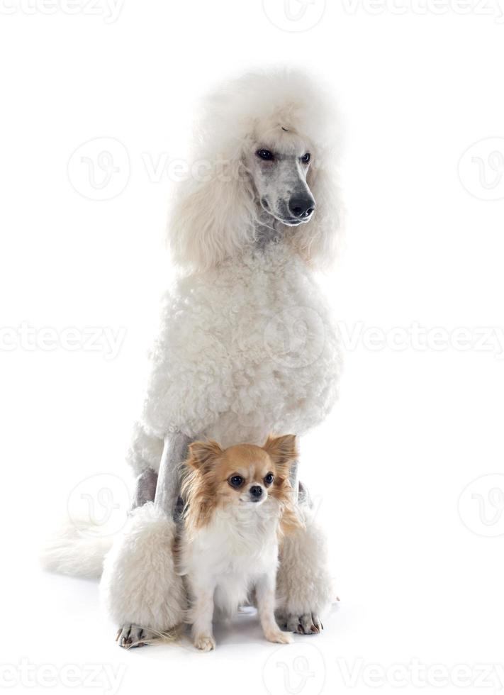 caniche blanco estándar y chihuahua foto