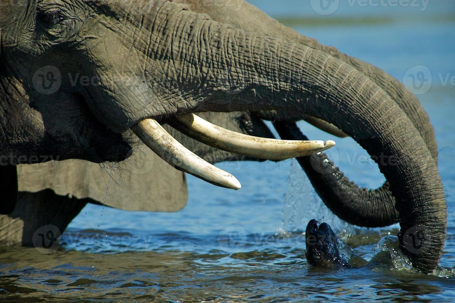 elefantes bebiendo agua foto