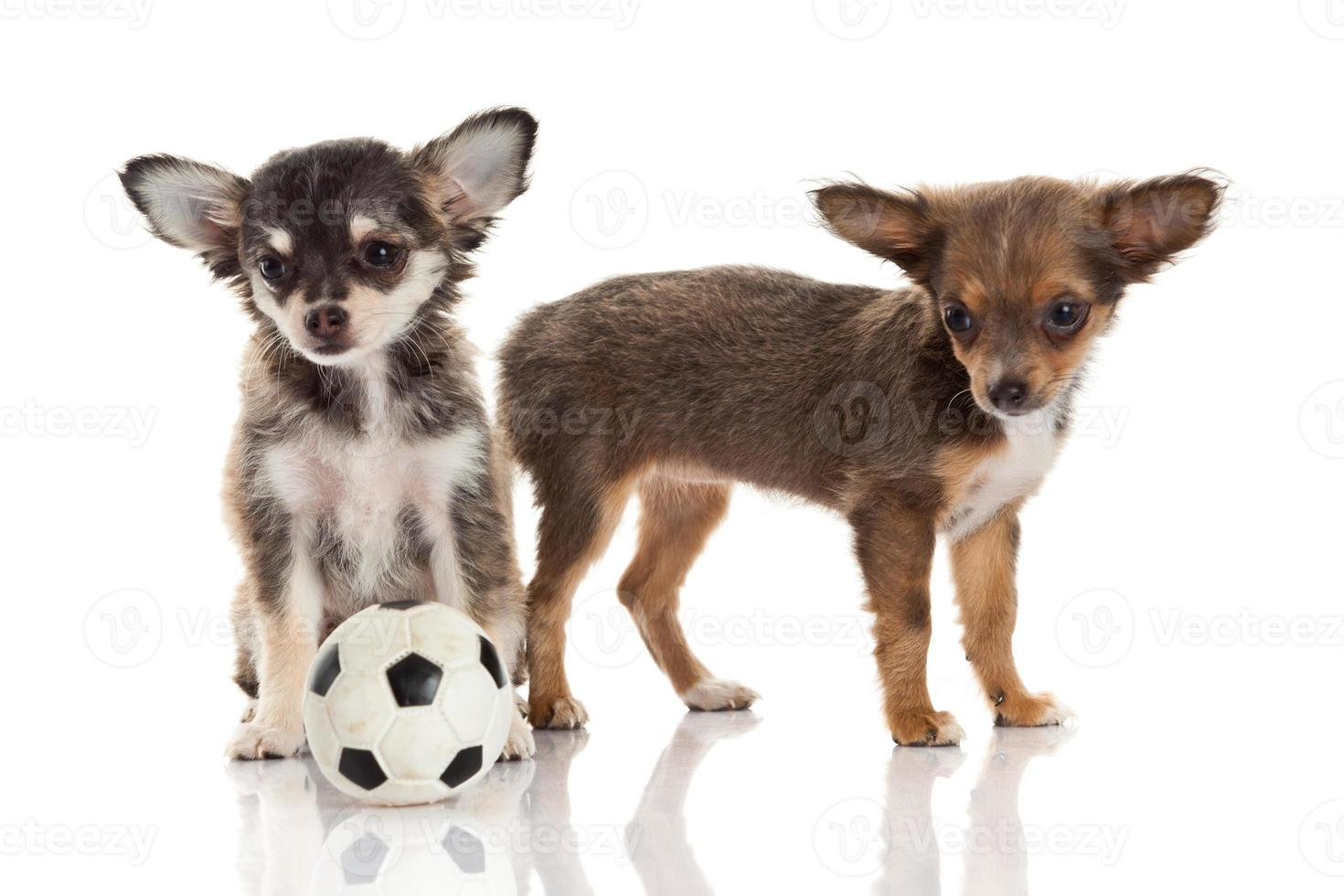 Dos cachorros chihuahua. foto